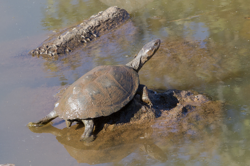 Pan-hinged terrapins can be found at most waterholes.