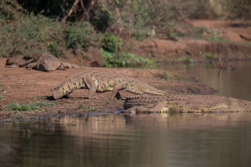 Nile crocodile are common throughout the park.