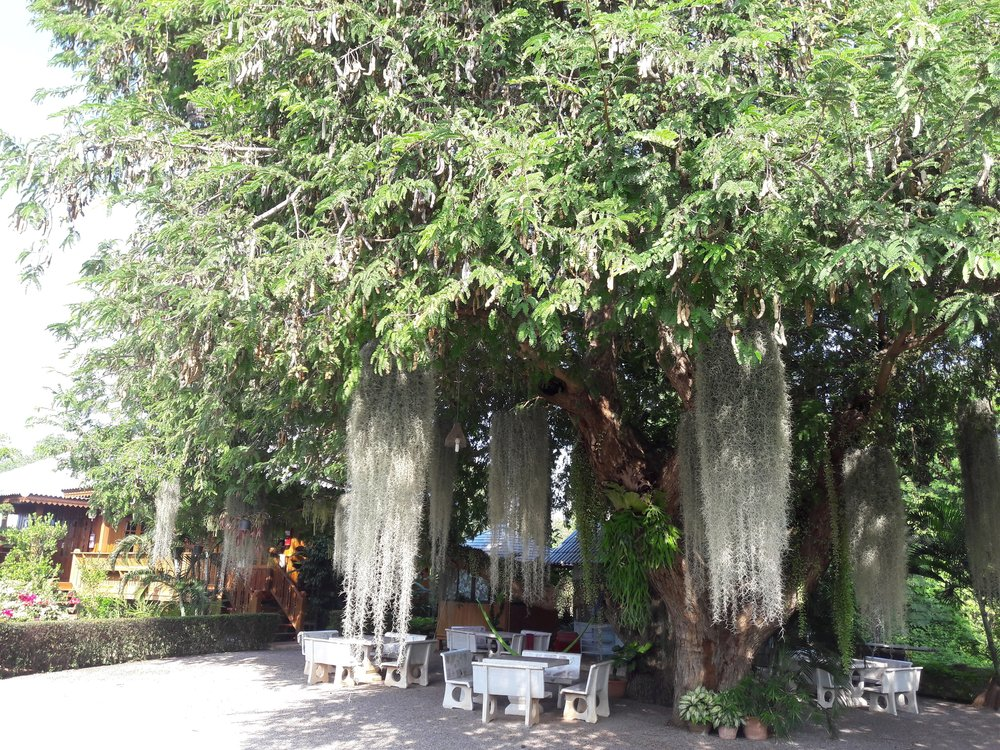 Our class room, dining room, and hang out space is always outdoors under some enormous tree or in our Shala at our land. This is at the garden of the cottages.