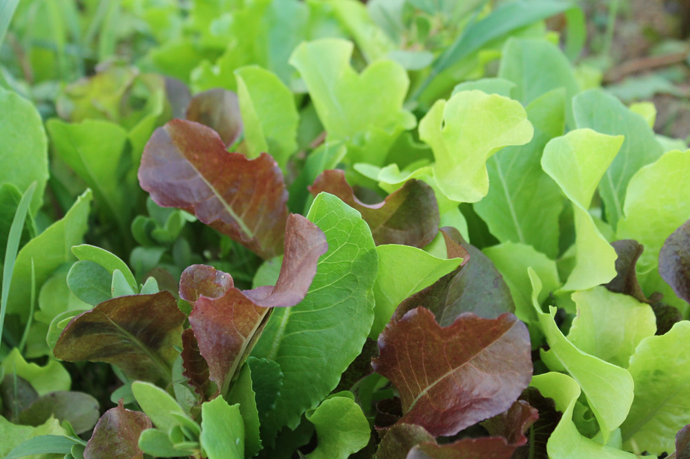 Conklin-Farms-lettuce.jpg