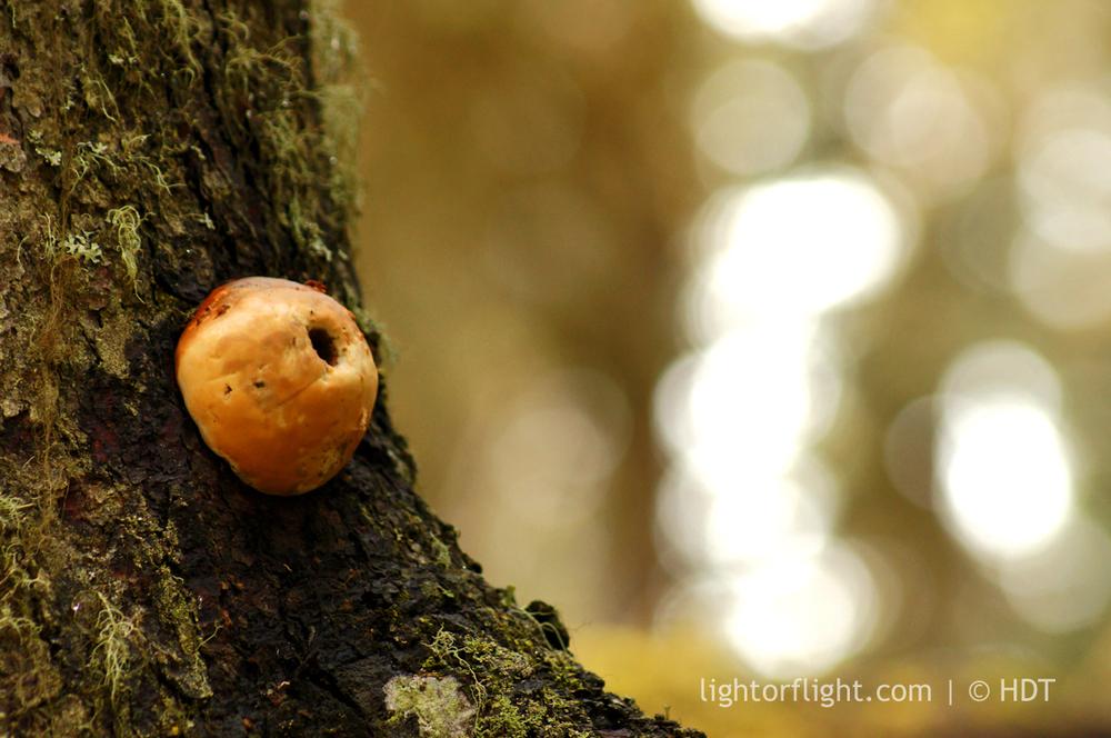 Puffball Fungus (Lycoperdon perlatum)