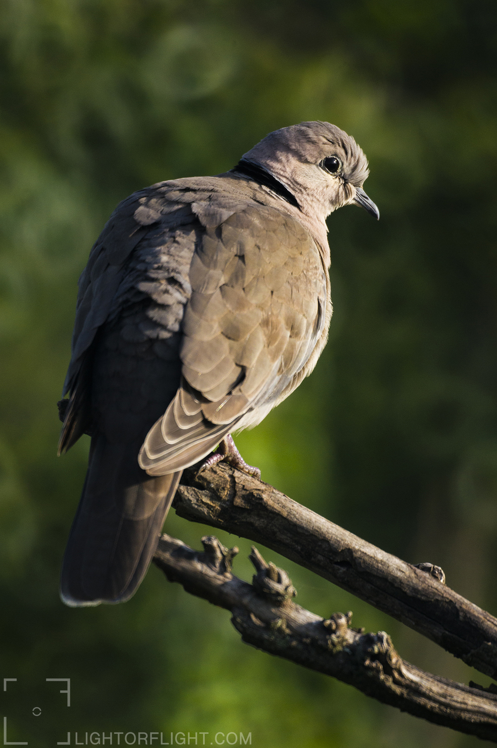 Collared Dove (Streptopelia roseogrisea)