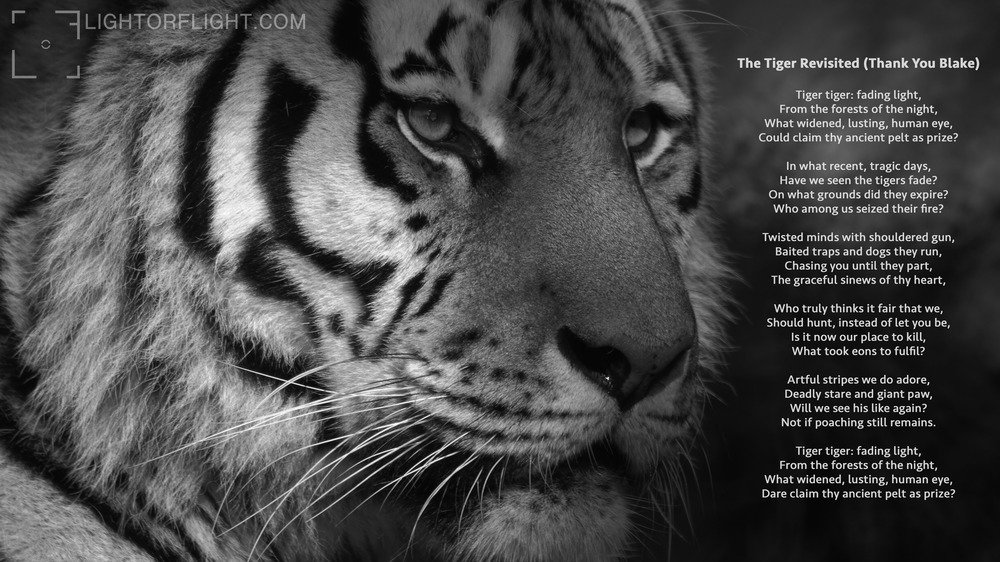 The Tiger Revisited WEB.jpg