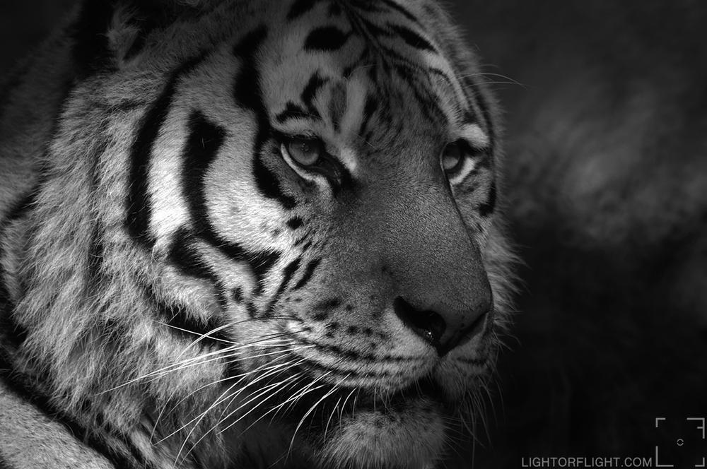 Siberian Tiger (Panthera tigris altaica) (c)