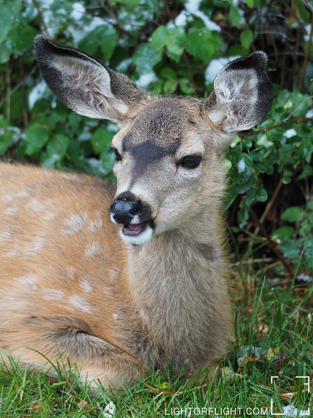 Mule Deer Fawn  (Odocoileus hemionus)