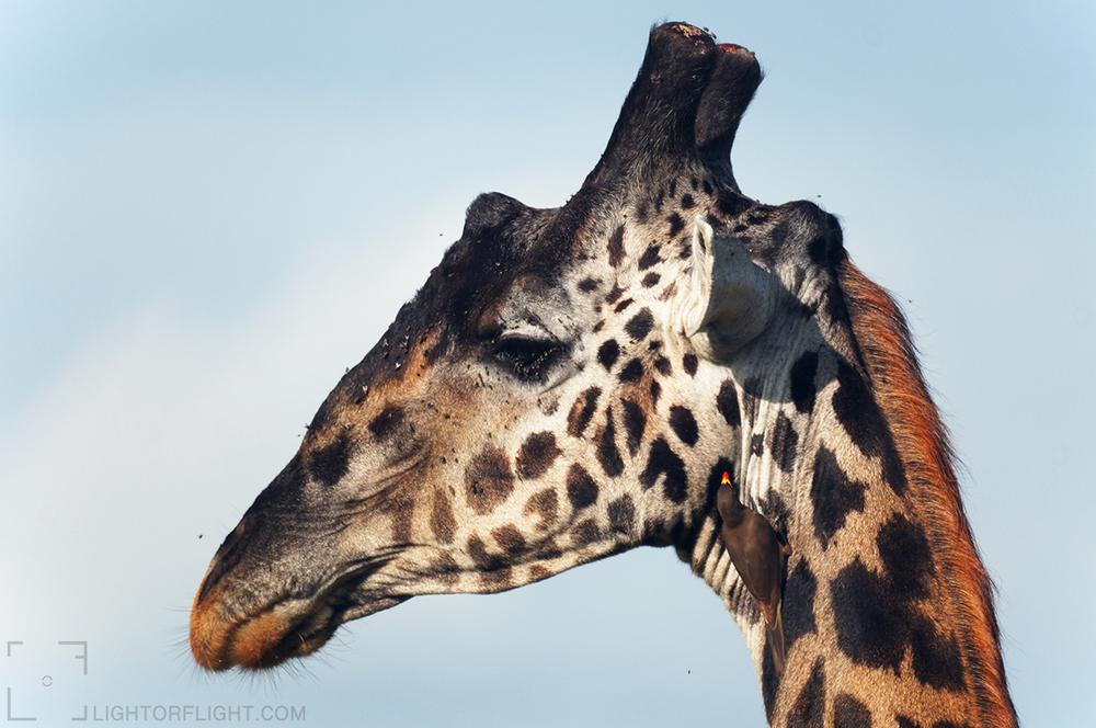 Kilimanjaro Giraffe (Giraffa camelopardalis tippelskirchi) & Yellow-billed Oxpecker (Buphagus africanus)