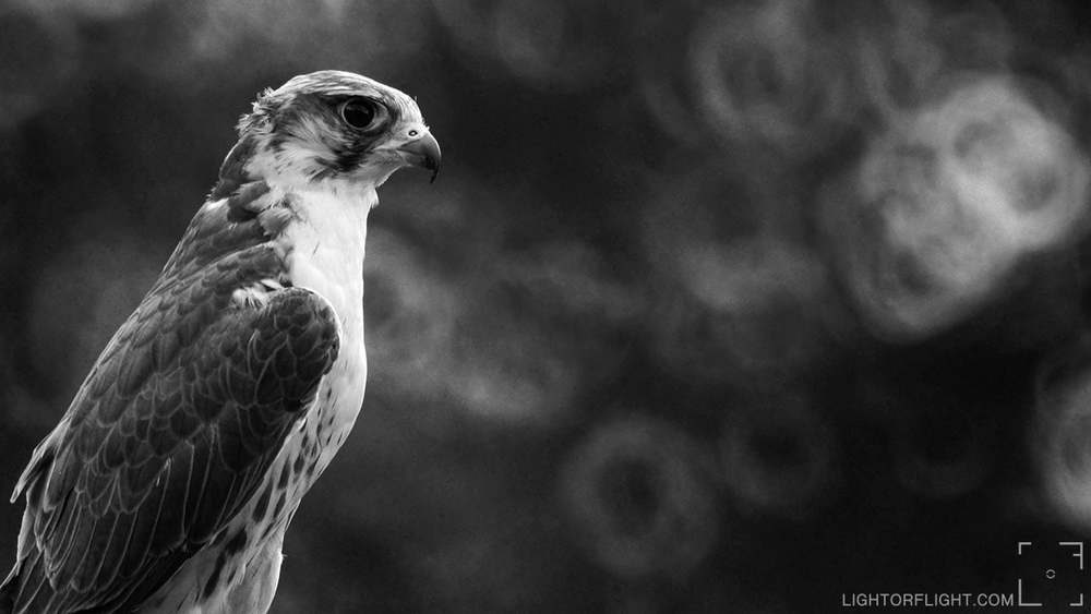 Peregrine Falcon (Falco peregrinus) (C)
