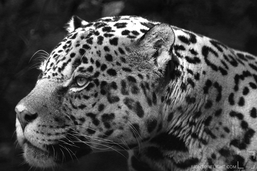 Jaguar (Panthera onca) Sovereign (c)