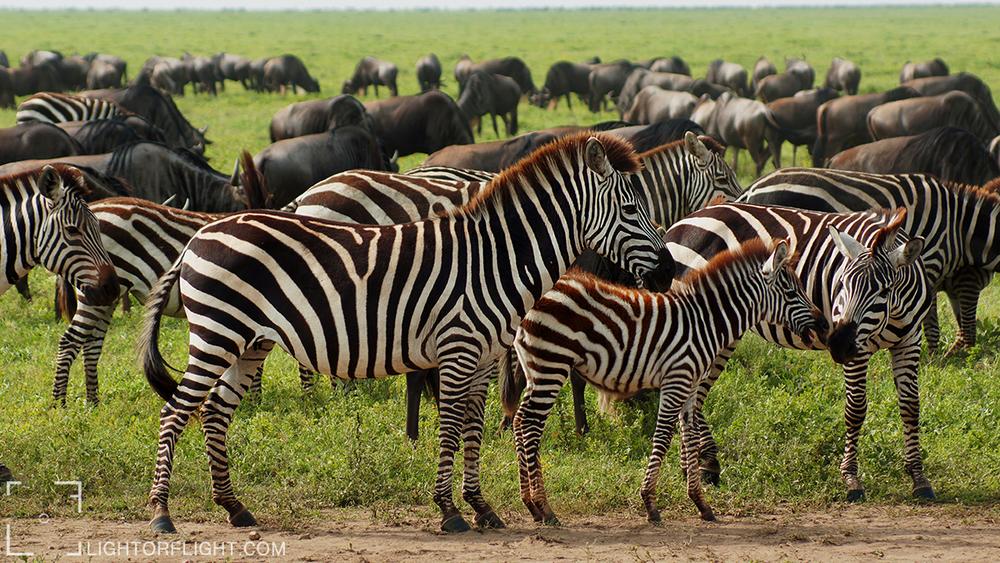 Grant's zebra (Equus quagga boehmi) & Blue Wildebeest (Connochaetes taurinus)
