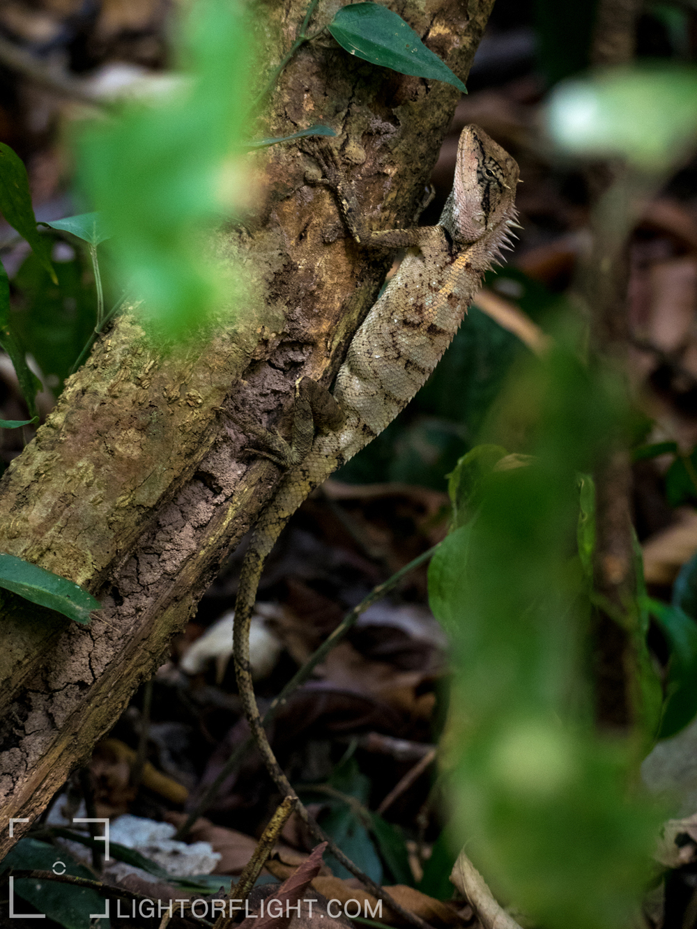 Emma Gray's Forest Lizard (Calotes emma)