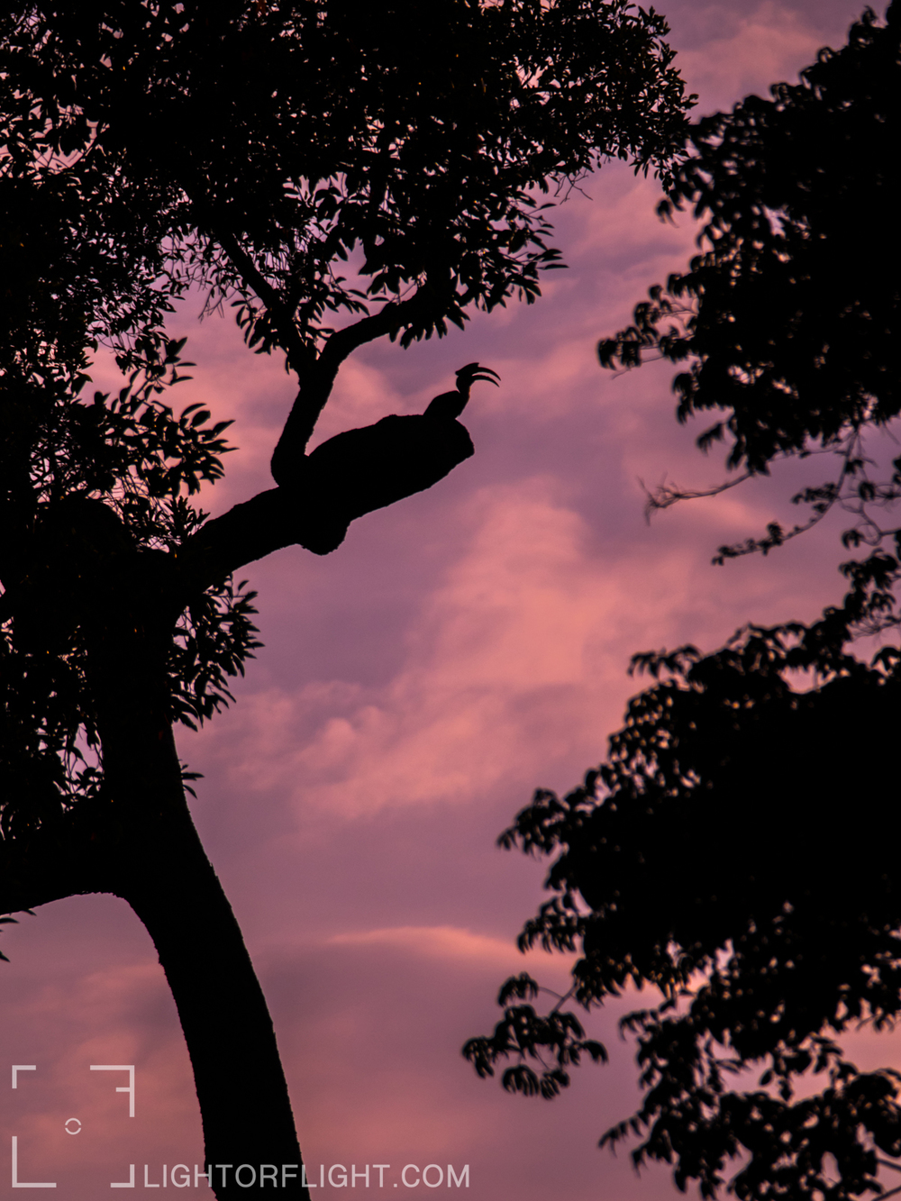 Grand Hornbill (Buceros bicornis)
