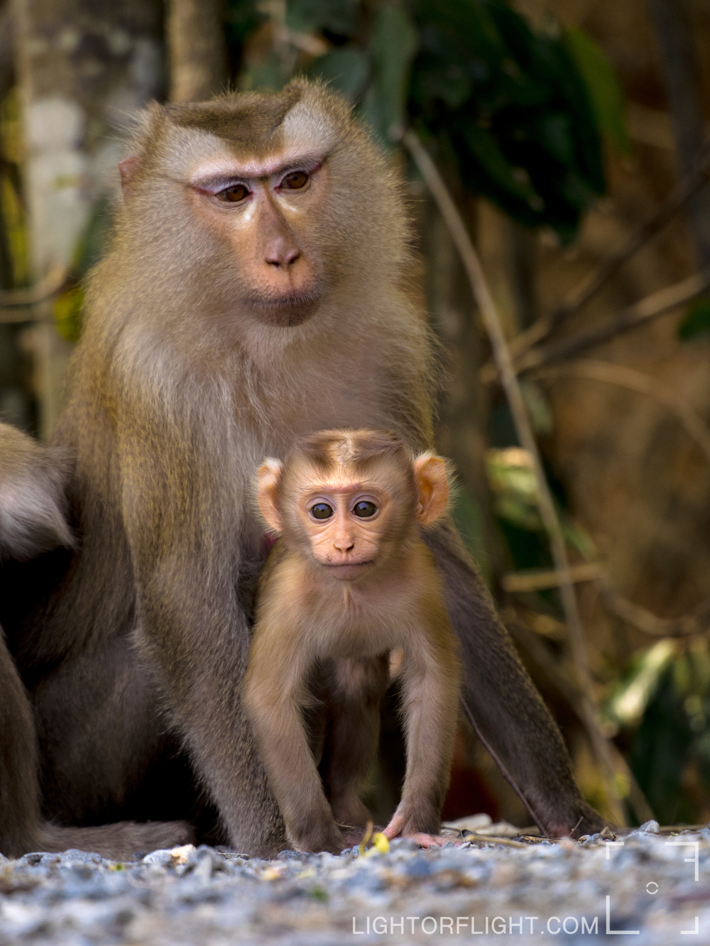 Northern Pig-Tailed Macaque (Macaca leonine)