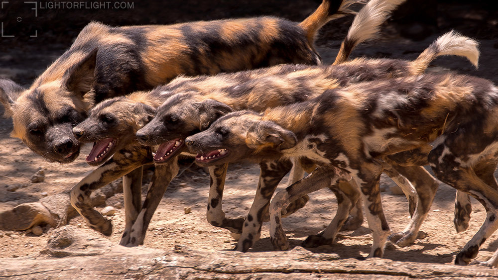 African Painted Dog (Lycaon pictus) (C)