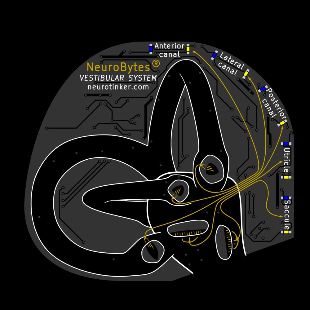 NeuroBytes_Vestibular_System.png