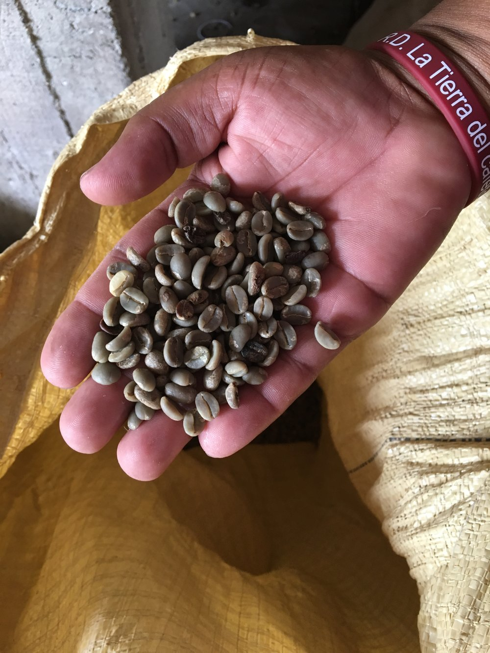 Green coffee beans (unroasted) in El Naranjito
