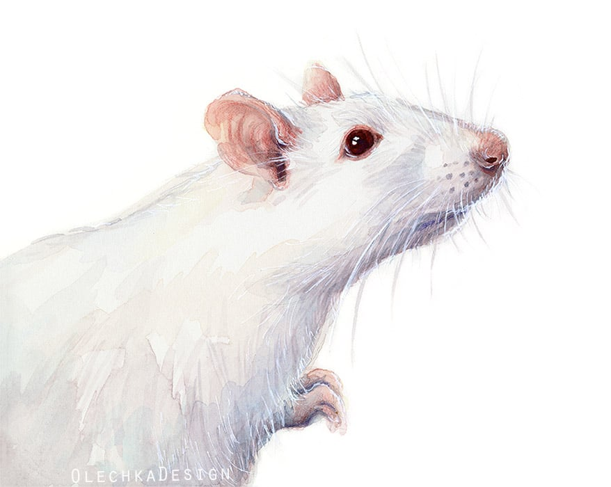 Albino White Rat Watercolor_Olechkadesign.jpg