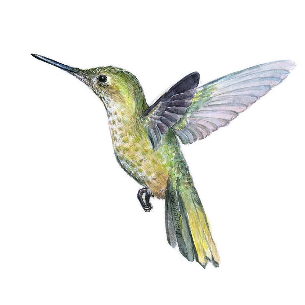 Hummingbird_watercolor_art.jpg