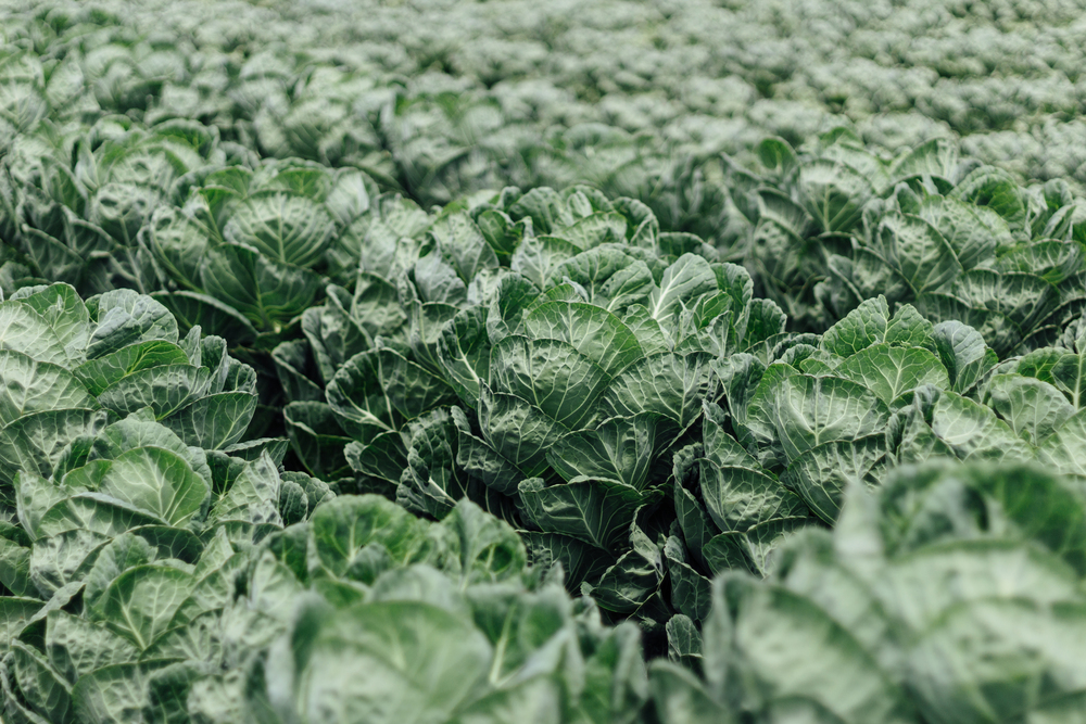Fields of Cabbage by Catherine Alyce