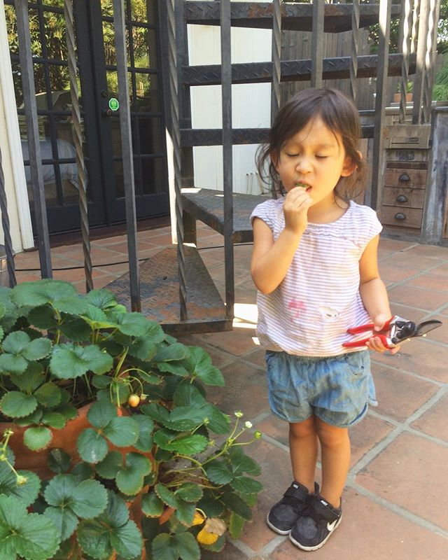 A little early childhood gardening never hurt anyone. She just couldn't help herself with those delicious strawberries 🍓! #bringyourkidtoworkday #strawberry #gardenerslife #silverlake