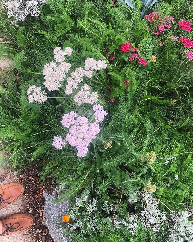 Achillea Millefolium (yarrow) from seed. We highly recommend it! #maygray #achilleamillefolium #canativeplants #drizzle #larain #losangeles