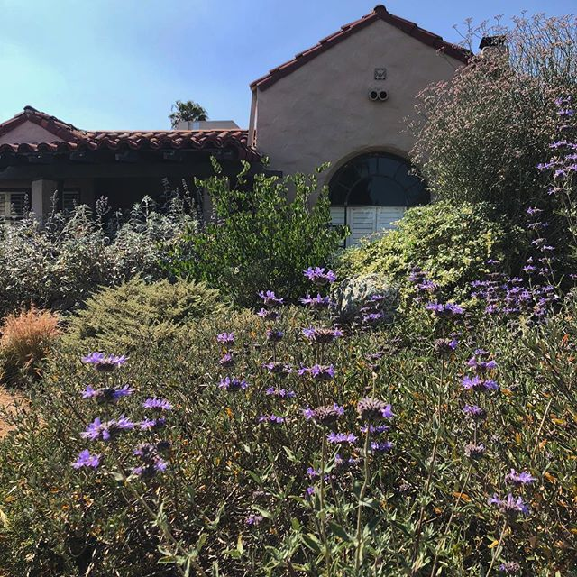 """When California was wild, it was the floweriest part of the continent."" - John Muir  It is a privilege to tend to a garden like this, with native bees buzzing about, lizards sneaking throughout, flowers popping on every plant with the smells of salvia perfuming the air. It's gardens like these that remind us of the importance of the work we do. Onwards and upwards and have a great weekend everyone! #losangeles #canativeplants #gardening #salviaclevelandii #pollinatorgarden #june #blooms #purplesage #purple #atwatervillage #silverlake #echopark"