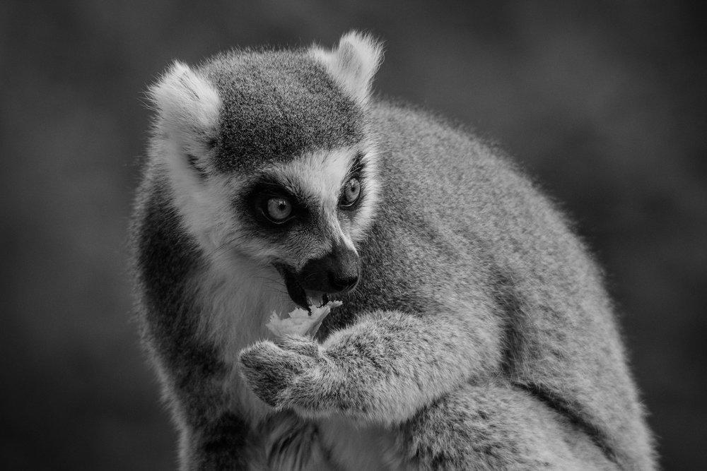 Lemur - DSC_2393.jpg