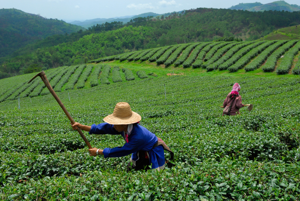 Tea fields, Mae Salong, Thailand