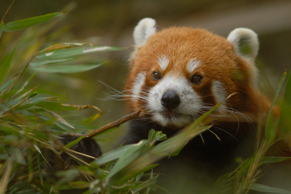 Red Panda, Darjeeling, India