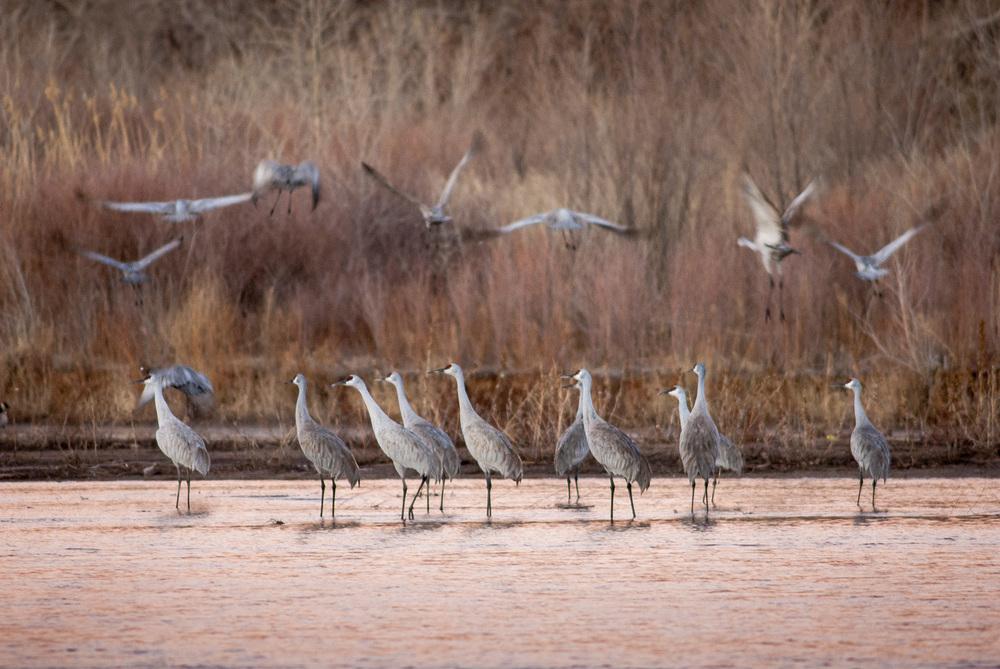 Sandhill cranes, Peralta, New Mexico