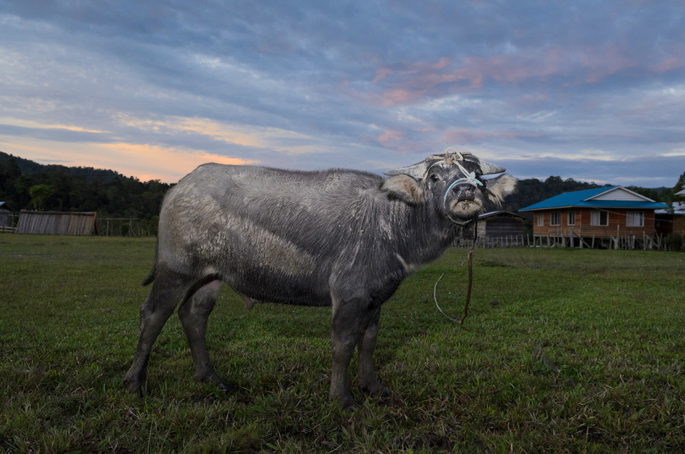 Villagers leave a skittish water buffalo in a field in the middle of Pa Lungan village so it will get used to people and can eventually be put to work in the field.