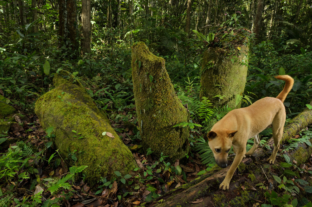 A hunting dog sniffs around old stone burial jars at Menatoh Long Diit, an archaeological site of six large stone slabs and 17 moss-covered stone jars, in the Kelabit Highlands.