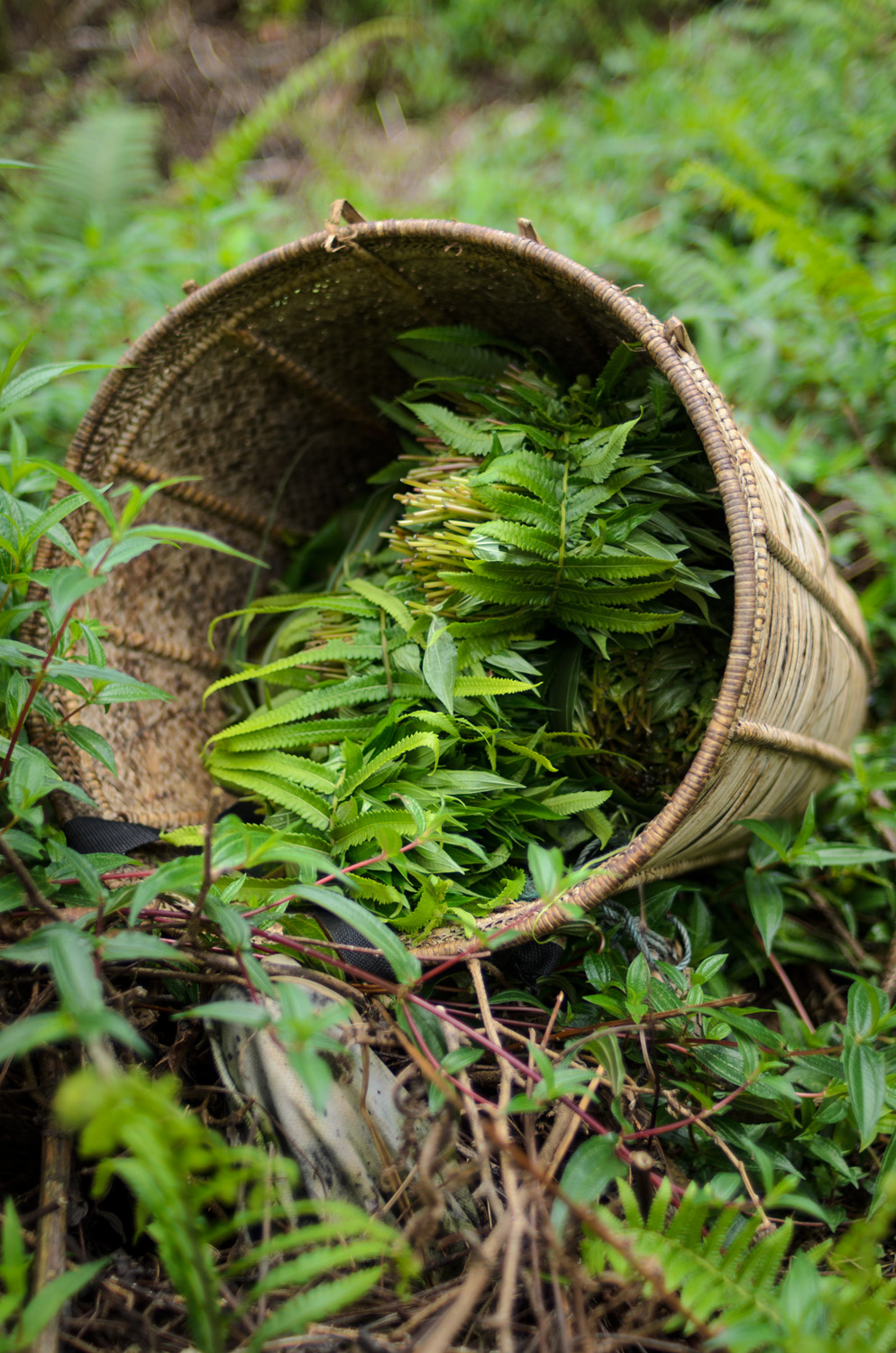 Wild ferns and other herbs and vegetables collected in the jungle forests near Bario, Sarawak, Malaysia.