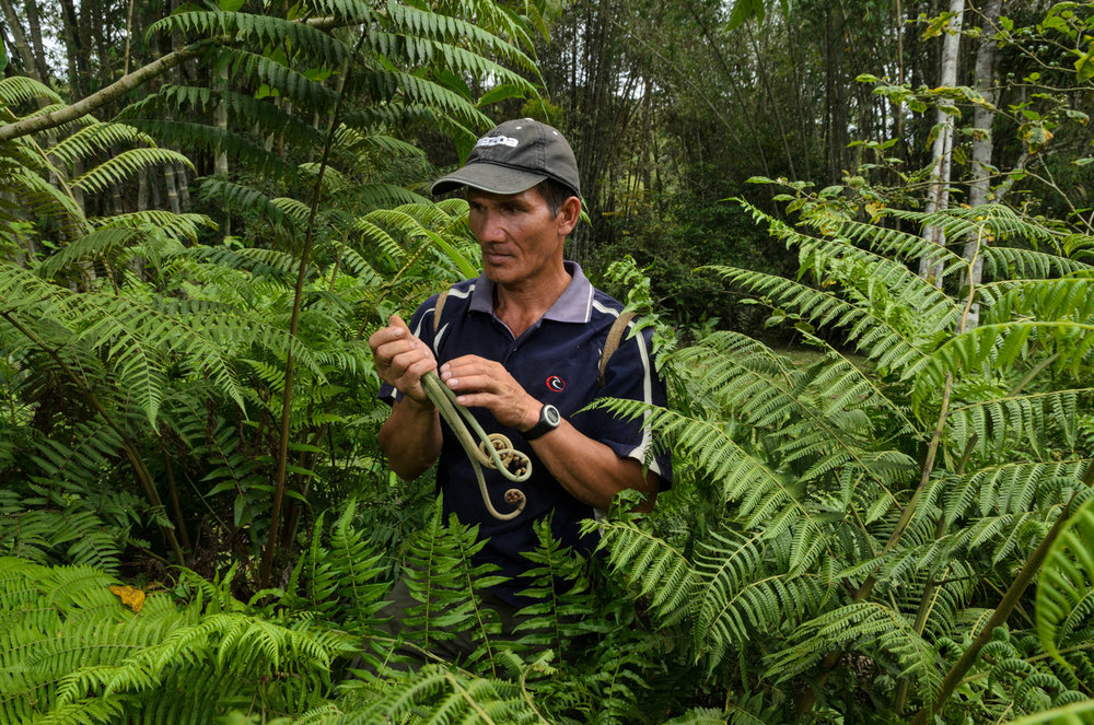 Portrait of local guide Walter Paran as he collects edible ferns near Pa Lungan, Sarawak, Malaysia.