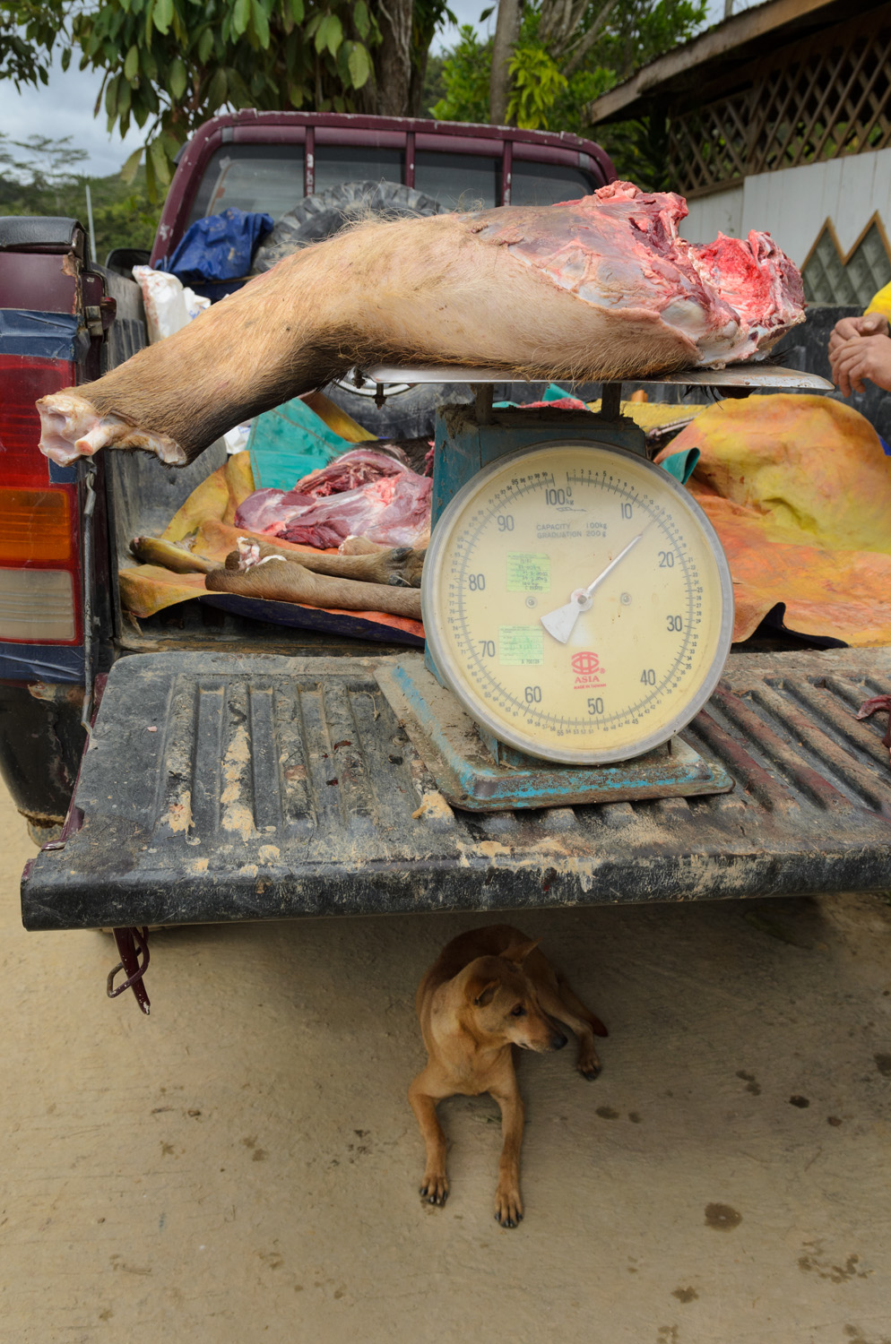 A dog rests beneath a truck carrying haunches of wild boar and venison in Bario town in Sarawak, Malaysia. A hunter caught the animals earlier in the day and was selling them to people in town. Wild meat is a main food staple of the region.