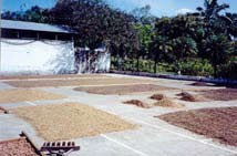 Coffee-Drying Patio