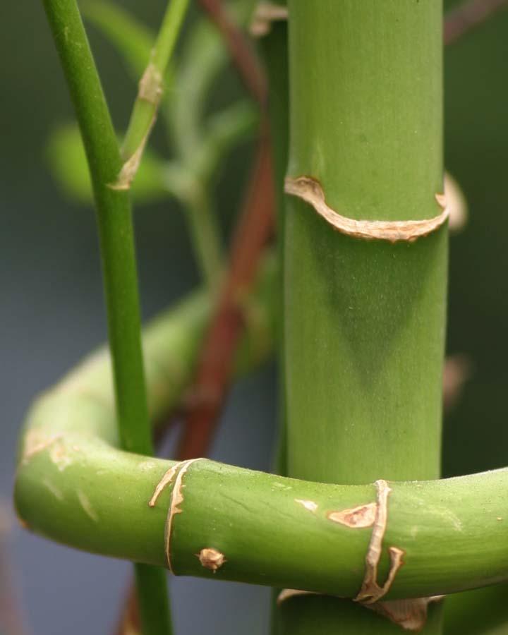 Lucky Bamboo Care Cactus Tropicals
