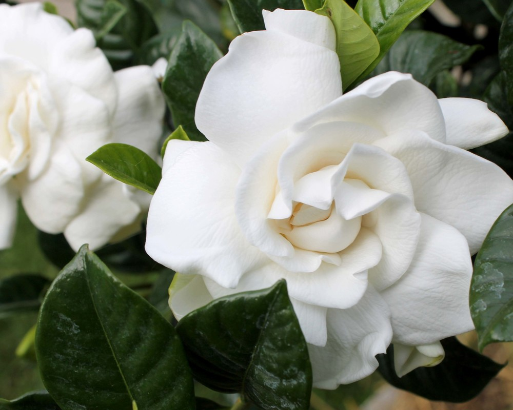 Donu0027t Forget That Plants Dry Out Faster Outside. Check The Soil Every Day.  Bring Your Gardenias Inside During Periods Of Hot, Dry Wind.