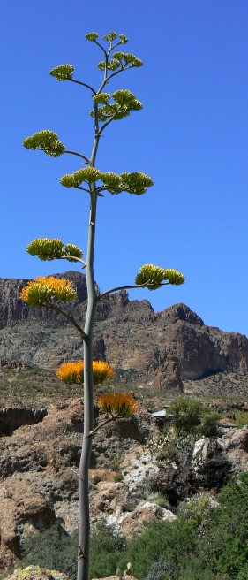 Rolfing® Resources images: blooming yucca