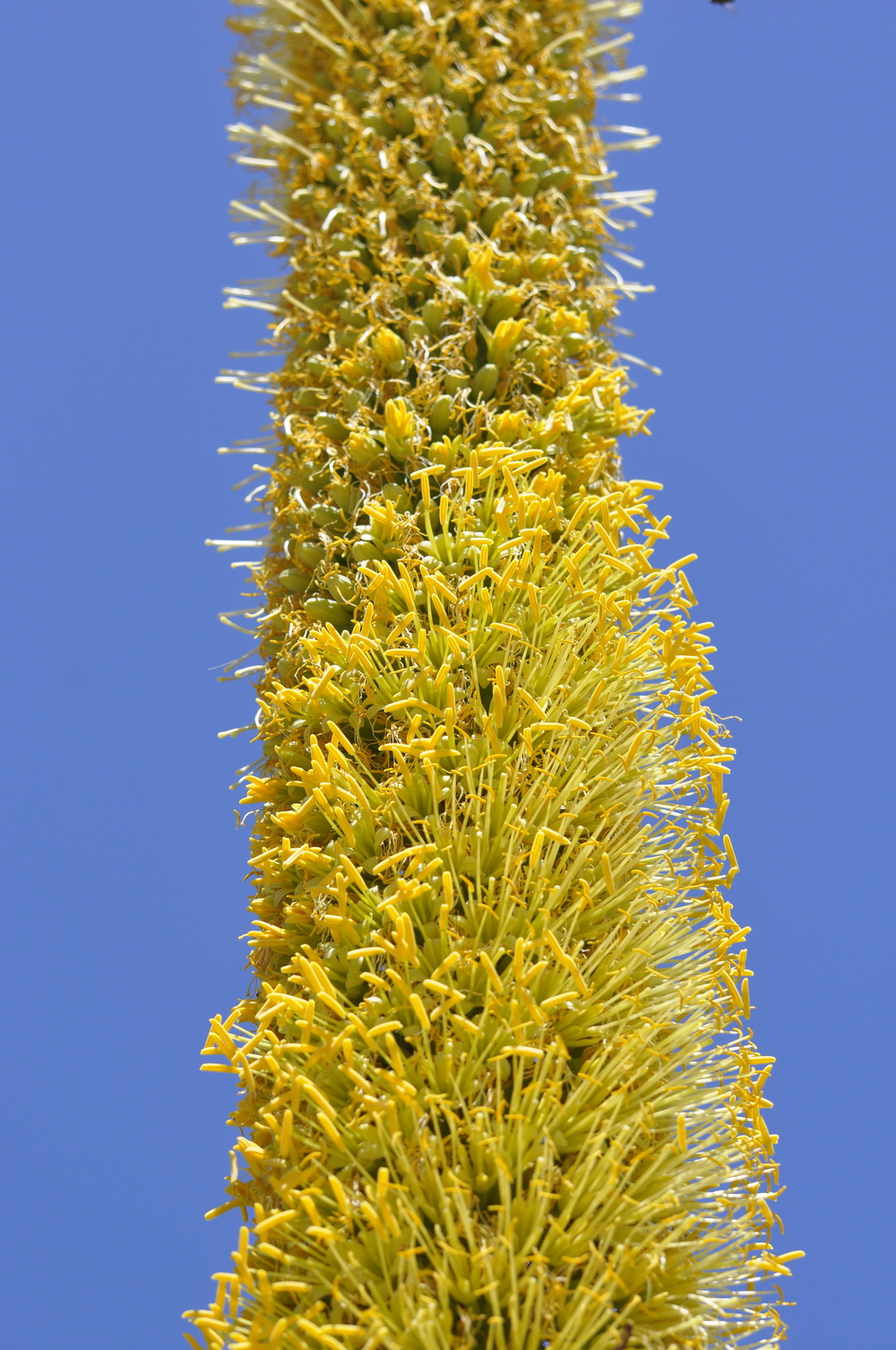 Blooming agave spire - restoring health through nature