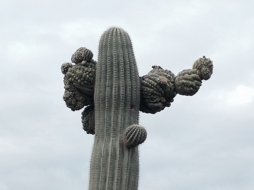 Rolfing resources images - crested saguaro