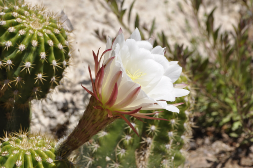 Rolfing® Resources images - opening cactus bud