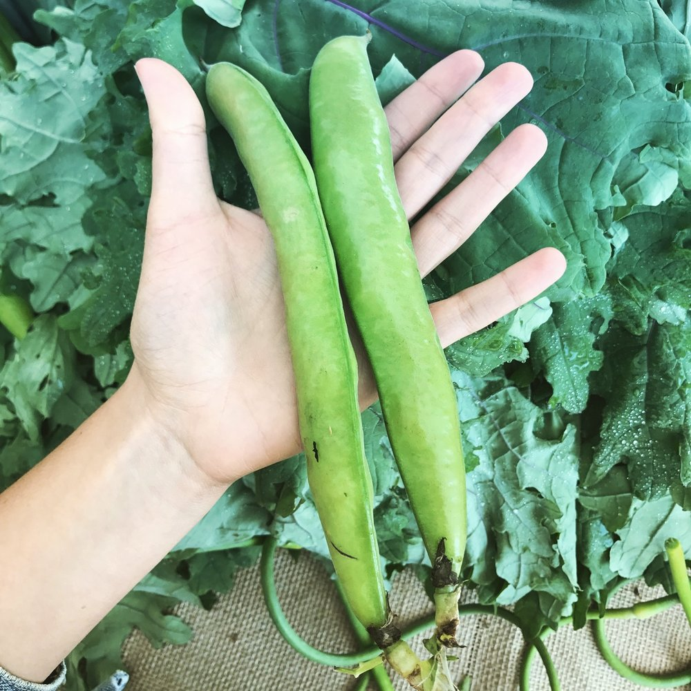 Fava beans from  Ecolibrium Farms !  Photo credit: Shiva Majidi