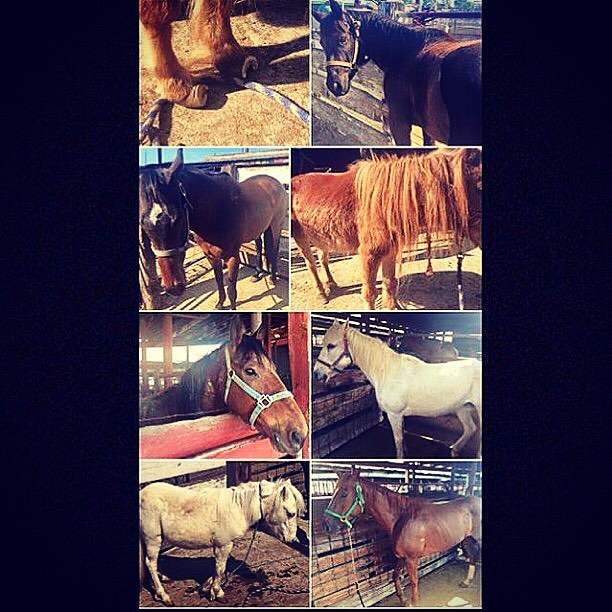 We are at auction. It's only 10:30 and there are already 17 scared, sad, wondering faces looking to us. There are also some very painful horses here today.including a mini. 😞  Our hope is to keep them safe, out of Mexico and get them the care they need.  We need your help to do that!  We are off to a late start from technical difficulties and trailers that won't stop pulling up. More horses are arriving as we are posting.  Sadly, we don't see the new private buyers that seemed to show in force last week. Looks like it's up to us.  It's up to you.  We have brought in $165 since auction donations started yesterday. We are only as powerful as our bank account allows and need about $1,000 per horse to responsibly rescue!  You ready to make this happen and help us save some lives?  www.hicaliber.org/donate PP: hicaliberhorses@yahoo.com