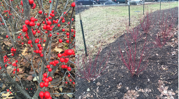Left: The red fruit of Ilex verticillata a.k.a. common winterberry. Right: The red branches of Cornus sericea 'Isanti' a.k.a. eastern redtwig dogwood.