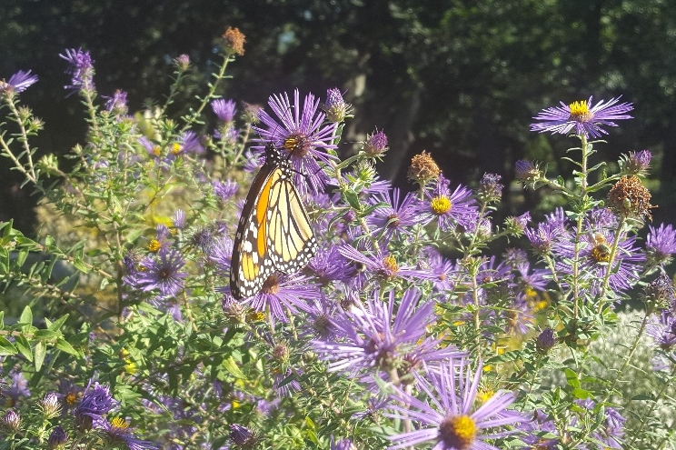 With the addition of native perennial flowers like New England Asters to existing and new garden beds, Monarch butterflies became frequent fliers in Fort Greene Park in 2017.