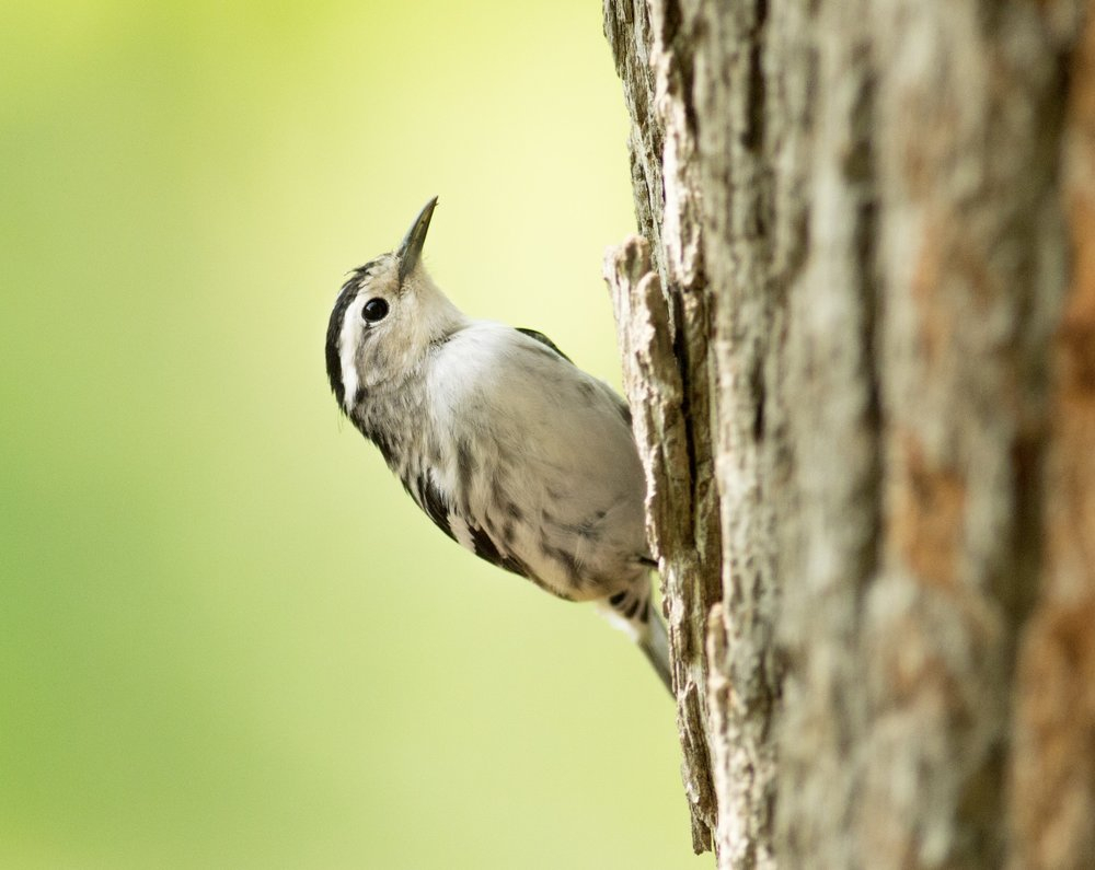 A Black and White Warbler hopping up a tree. Photo by August Davidson-Onsgard.