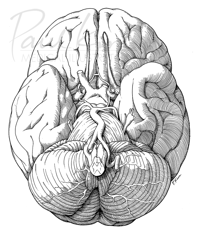 Basal View of the Brain