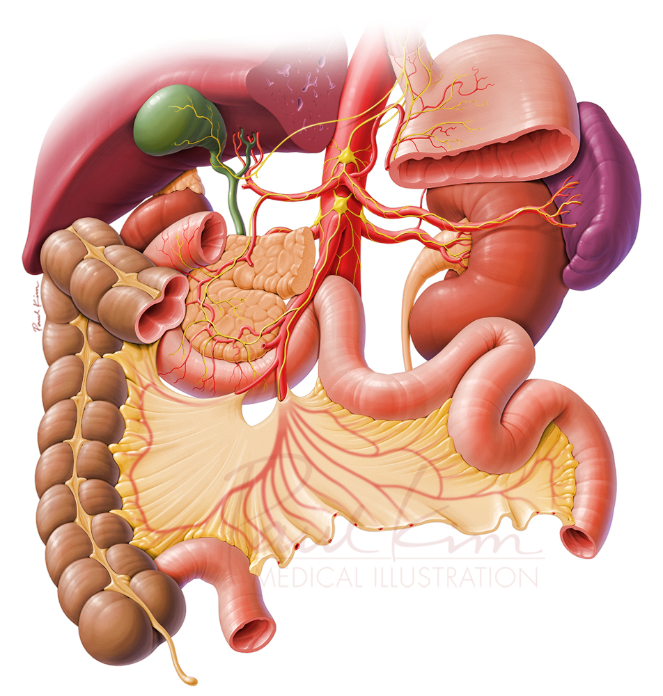 Vagus Nerve Innervation of the Abdominal Organs