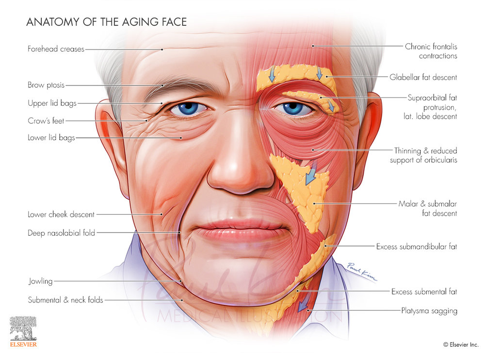Anatomy of the Aging Face