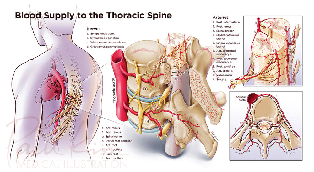 Blood Supply to the Thoracic Spine